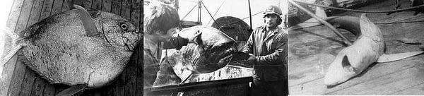 """1. Никто не знал наименования попавшей в трал рыбины. Её длина примерно 170 сантиметров (14 досок промысловой палубы, каждая шириной 12 сантиметров). Ухи сваренной с неё, хватило на 110 членов экипажа. 2. С этого попавшего в трал """"чуда"""" (никто подобного никогда не видел), ухи не варили. 3. При работе экипажей возле Гавайских островов, любимым занятием моряков, была ловля в ночное время голубых акул."""